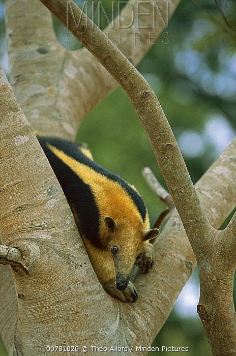 Southern Anteater (Tamandua tetradactyla) in tree, Pantanal, Brazil  -  Theo Allofs