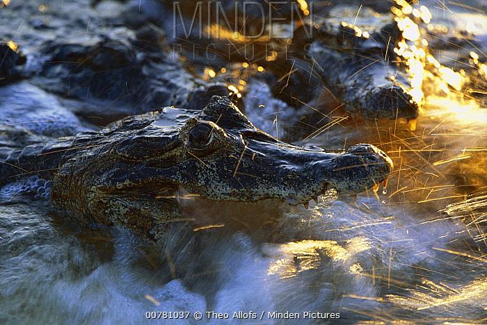 Jacare Caiman (Caiman yacare) waiting for prey, Mato Grosso, Pantanal, Brazil  -  Theo Allofs