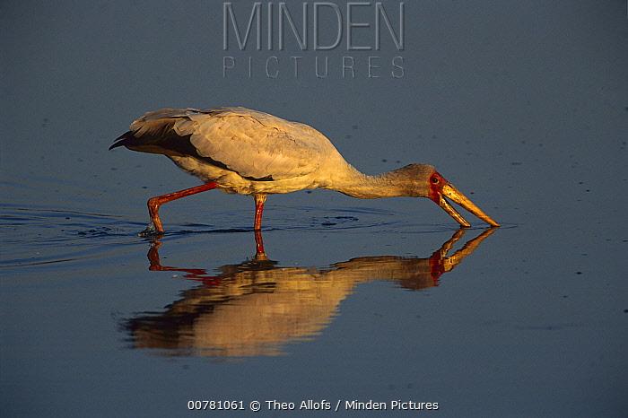 Yellow-billed Stork (Mycteria ibis) foraging, Chobe River, Chobe National Park, Botswana  -  Theo Allofs