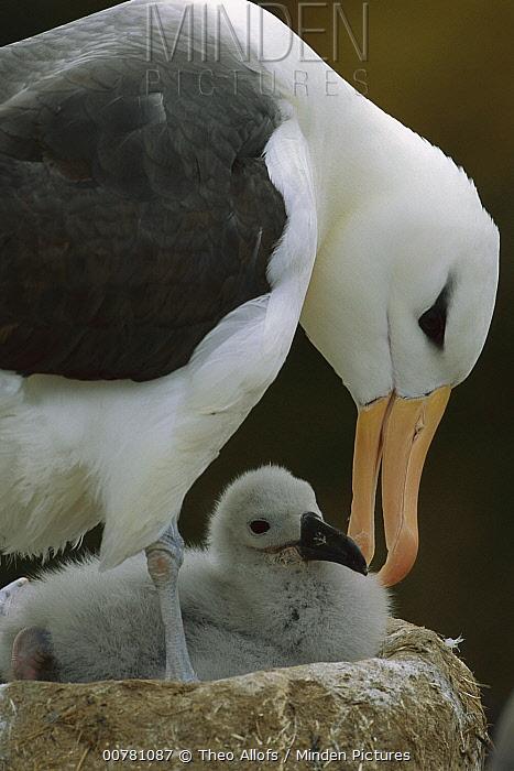 Black-browed Albatross (Thalassarche melanophrys) parent preening chick, Falkland Islands  -  Theo Allofs