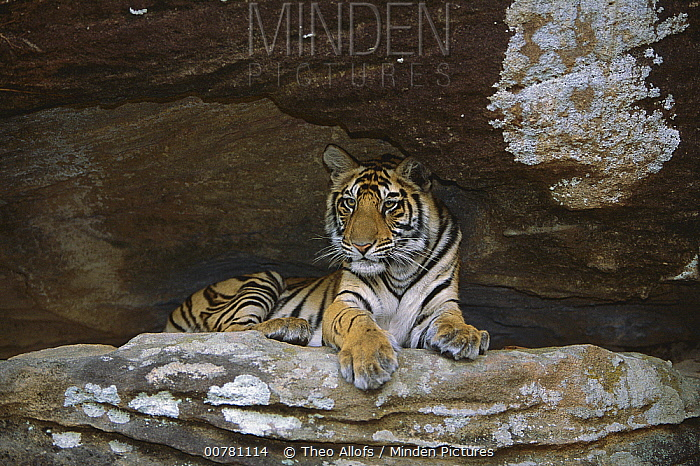 Bengal Tiger (Panthera tigris tigris) juvenile lying in cave, Bandhavgarh National Park, India  -  Theo Allofs