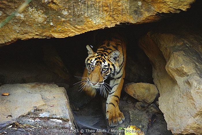 Bengal Tiger (Panthera tigris tigris) juvenile emerging from cave, Bandhavgarh National Park, India  -  Theo Allofs