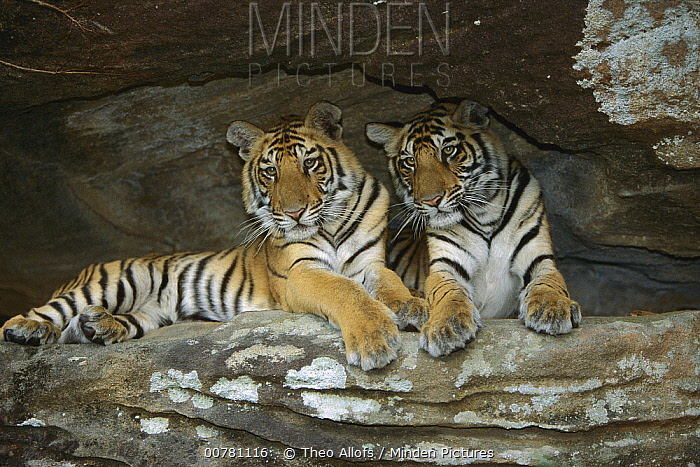 Bengal Tiger (Panthera tigris tigris) juveniles lying in cave, Bandhavgarh National Park, India  -  Theo Allofs