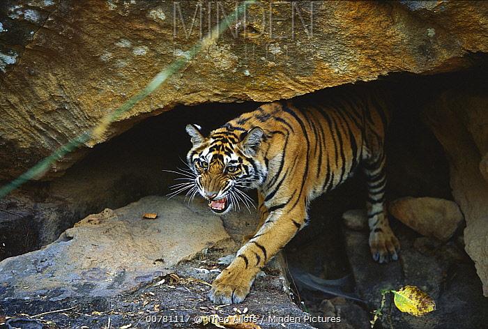 Bengal Tiger (Panthera tigris tigris) juvenile snarling while emerging from cave, Bandhavgarh National Park, India  -  Theo Allofs