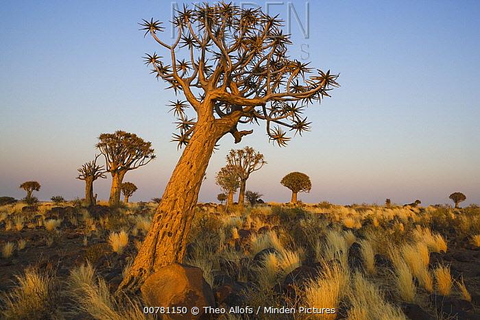 Quiver Tree (Aloe dichotoma) at dawn, Namib Desert, Namibia  -  Theo Allofs