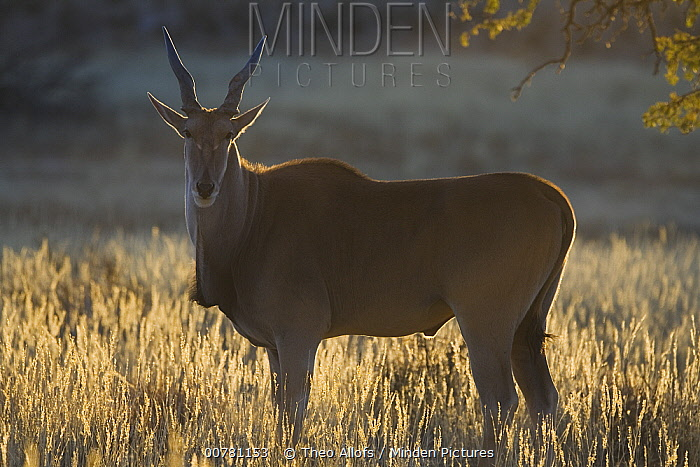 Common Eland (Tragelaphus oryx) antelope in early morning, dry season, August, Africa  -  Theo Allofs