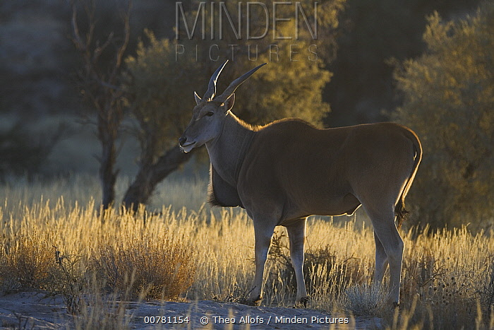 Common Eland (Tragelaphus oryx) in the early morning during dry season, Africa  -  Theo Allofs