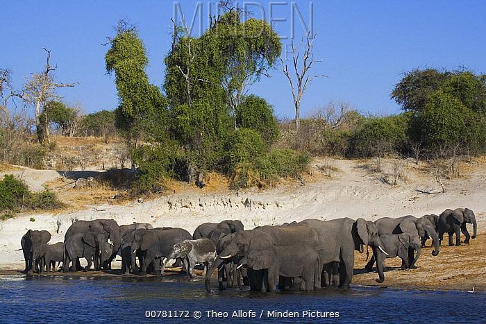 African Elephant (Loxodonta africana) breeding herd drinking at Chobe River, Botswana  -  Theo Allofs