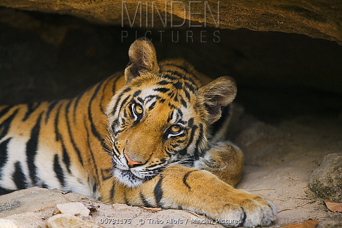 Bengal Tiger (Panthera tigris tigris) 11 months old cub resting in small cave during heat of the day, April, dry season, Bandhavgarh National Park, India  -  Theo Allofs