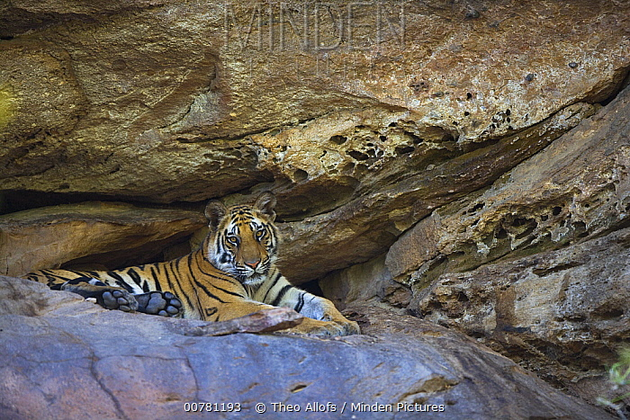 Bengal Tiger (Panthera tigris tigris) 11 month old juvenile resting in cool cave during heat of day, dry season, Bandhavgarh National Park, India  -  Theo Allofs