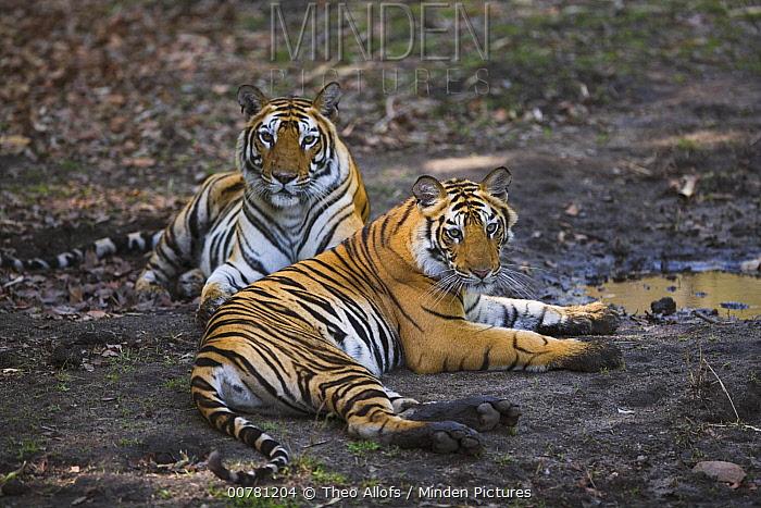 Bengal Tiger (Panthera tigris tigris) 18 month old juveniles resting near small waterhole in dry season, April, Bandhavgarh National Park, India  -  Theo Allofs