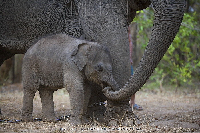 Asian Elephant (Elephas maximus) chained mother touching her 4 week old calf with trunk, the mother has been trained as a working elephant for tourism and tiger tracking, India  -  Theo Allofs