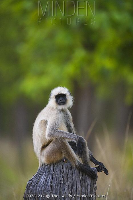 Hanuman Langur (Semnopithecus entellus) sitting on tree stump, India  -  Theo Allofs