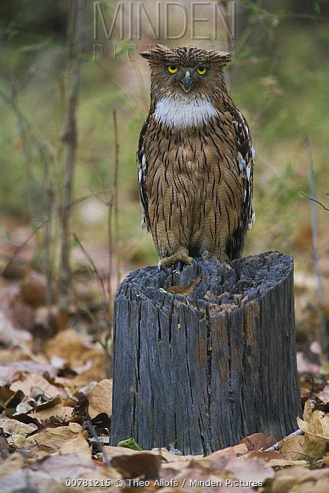 Brown Fish-owl (Ketupa zeylonensis) on tree stump, India  -  Theo Allofs