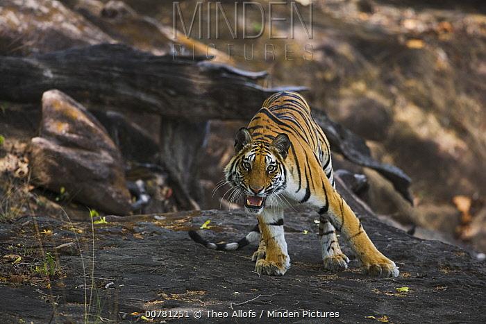 Bengal Tiger (Panthera tigris tigris) standing on rock in shady area, snarling, dry season, April, Bandhavgarh National Park, India  -  Theo Allofs