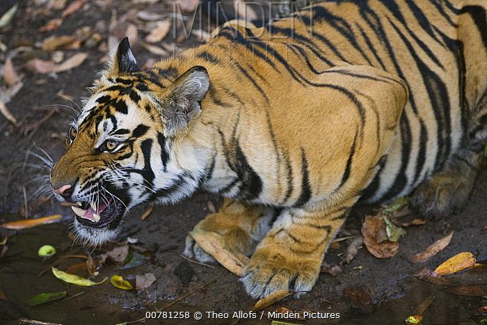 Bengal Tiger (Panthera tigris tigris) 17 months old juvenile at water hole, dry season, Bandhavgarh National Park, India  -  Theo Allofs