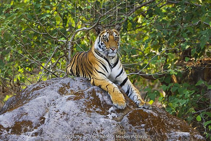 Bengal Tiger (Panthera tigris tigris) 17 month old juvenile lying on rock, early morning, dry season, Bandhavgarh National Park, India  -  Theo Allofs