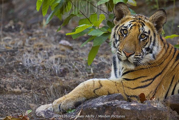 Bengal Tiger (Panthera tigris tigris) 11 month old cub lying on rock, dry season, April, Bandhavgarh National Park, India  -  Theo Allofs