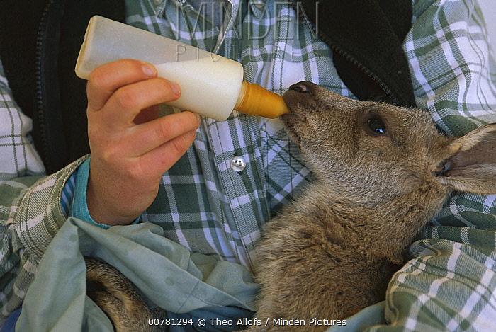 Red Kangaroo (Macropus rufus) orphan joey being fed by biologist near Broken Hill, Australia  -  Theo Allofs