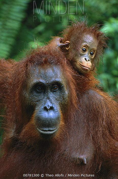 Orangutan (Pongo pygmaeus) mother with baby on her back, Tanjung National Park, Borneo, Malaysia  -  Theo Allofs