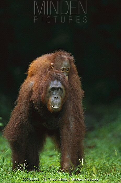 Orangutan (Pongo pygmaeus) mother with baby on her back, Tanjung Puting National Park, Borneo, Malaysia  -  Theo Allofs