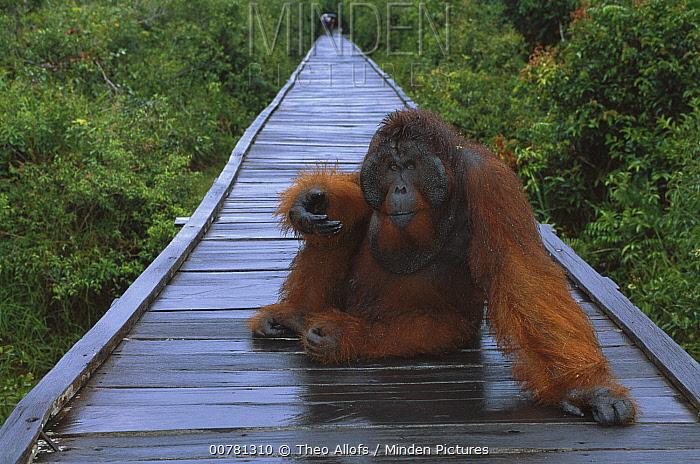 Orangutan (Pongo pygmaeus) dominant male sitting on boardwalk during rain, Tanjung Puting National Park, Borneo, Malaysia  -  Theo Allofs