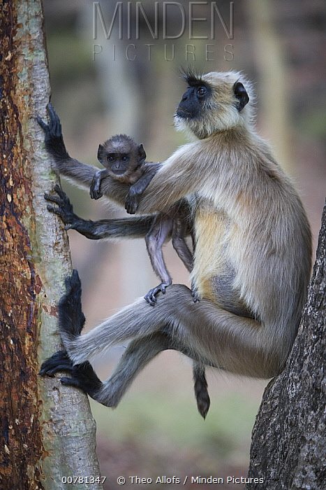 Hanuman Langur (Semnopithecus entellus) mother with baby in tree, India  -  Theo Allofs