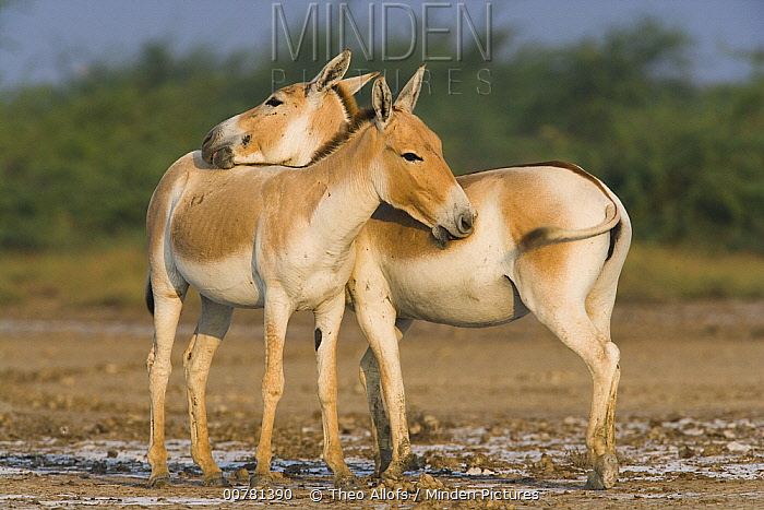Indian Wild Ass (Equus hemionus khur) pair showing affection by rubbing each other during the dry season, Indian Wild Ass Sanctuary, Little Rann of Kutch, India  -  Theo Allofs