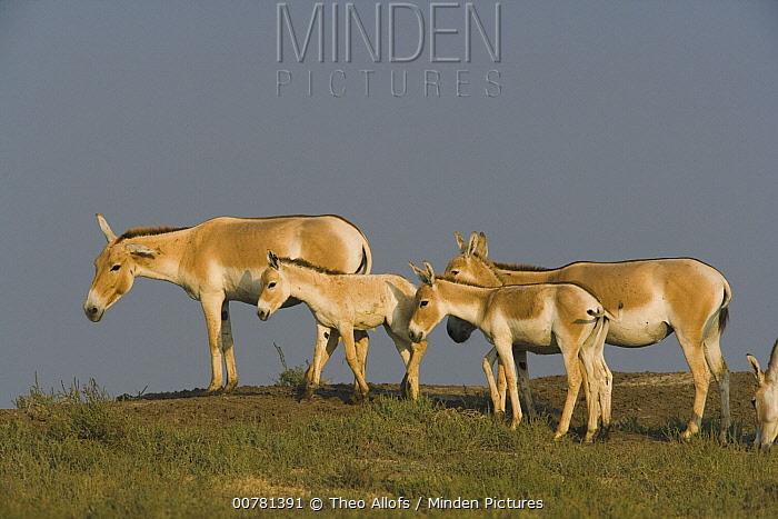 Indian Wild Ass (Equus hemionus khur) herd in dry season, Indian Wild Ass Sanctuary, Little Rann of Kutch, India  -  Theo Allofs