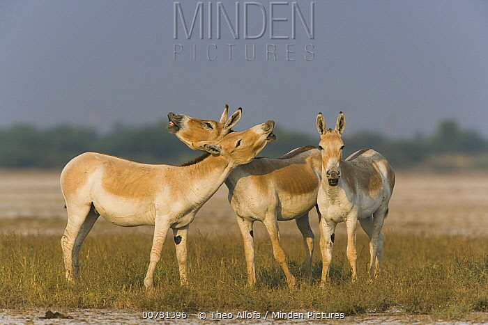 Indian Wild Ass (Equus hemionus khur) males smelling the air for females who may be in estrus, called flehmen response, Indian Wild Ass Sanctuary, Little Rann of Kutch, India  -  Theo Allofs