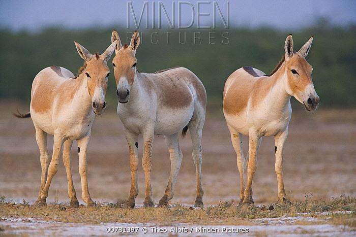 Indian Wild Ass (Equus hemionus khur) trio in dry season, Indian Wild Ass Sanctuary, Little Rann of Kutch, India  -  Theo Allofs