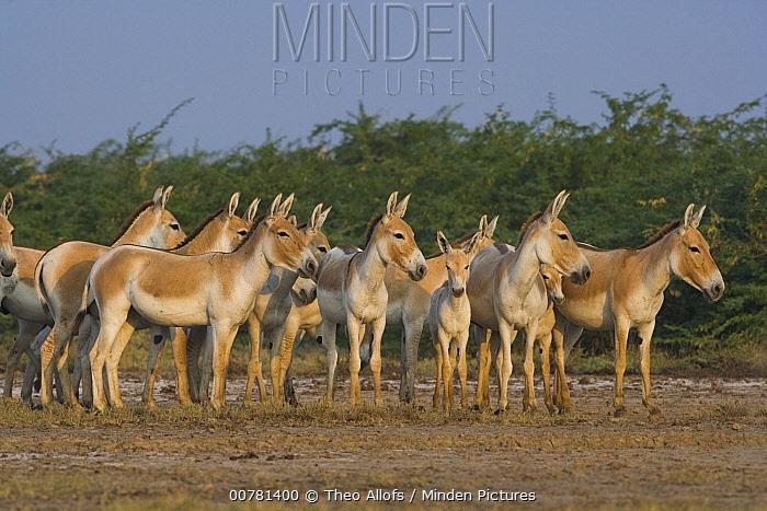 Indian Wild Ass (Equus hemionus khur) herd in clay pan during the dry season, Indian Wild Ass Sanctuary, Little Rann of Kutch, India  -  Theo Allofs