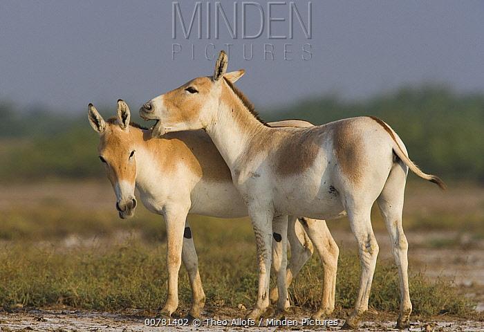 Indian Wild Ass (Equus hemionus khur) pair showing affectionate behavior during the dry season, Indian Wild Ass Sanctuary, Little Rann of Kutch, India  -  Theo Allofs