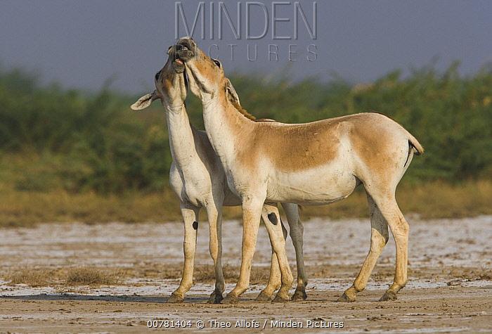 Indian Wild Ass (Equus hemionus khur) pair playing during the dry season, Indian Wild Ass Sanctuary, Little Rann of Kutch, India  -  Theo Allofs
