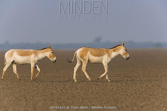 Indian Wild Ass (Equus hemionus khur) pair crossing vast dry clay pan during dry season, Indian Wild Ass Sanctuary, Little Rann of Kutch, India  -  Theo Allofs