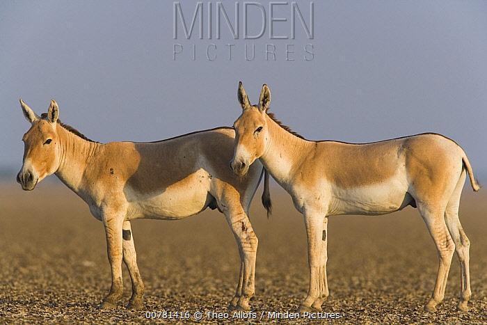Indian Wild Ass (Equus hemionus khur) pair in dry clay pan, Indian Wild Ass Sanctuary, Little Rann of Kutch, India  -  Theo Allofs