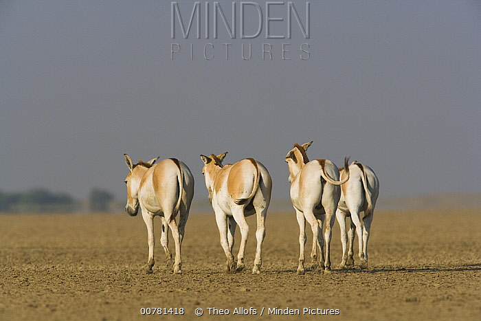 Indian Wild Ass (Equus hemionus khur) herd walking across dry clay pan, Indian Wild Ass Sanctuary, Little Rann of Kutch, India  -  Theo Allofs