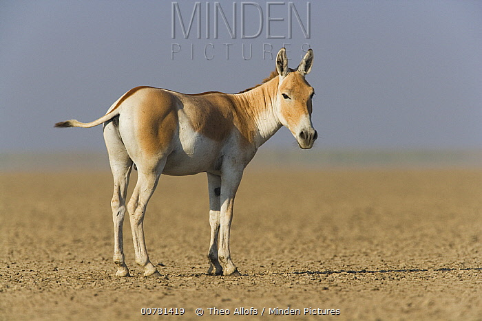 Indian Wild Ass (Equus hemionus khur) in dry clay pan, Indian Wild Ass Sanctuary, Little Rann of Kutch, India  -  Theo Allofs