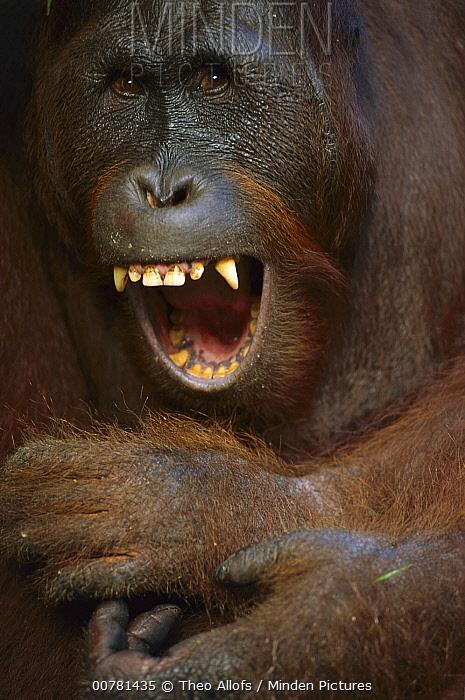 Orangutan (Pongo pygmaeus) young male yawning, Tanjung Puting National Park, Borneo, Malaysia  -  Theo Allofs