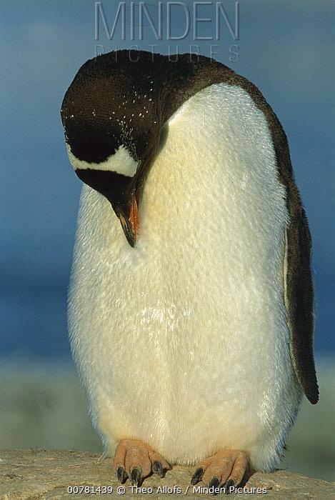 Gentoo Penguin (Pygoscelis papua) preening itself, Peterman Island, Antarctic Peninsula, Antarctica  -  Theo Allofs