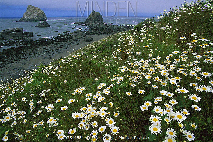 Daisies along coastline with sea stacks in background, Redwood National Park, California  -  Theo Allofs