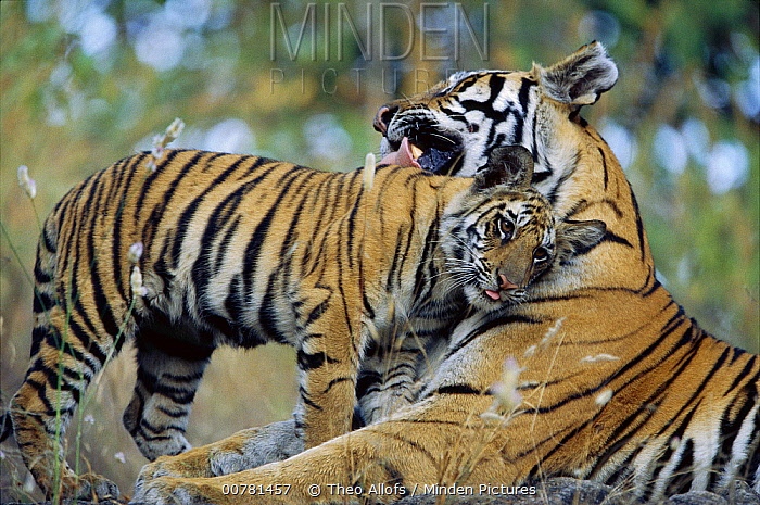 Bengal Tiger (Panthera tigris tigris) mother grooming six month old cub, Bandhavgarh National Park, India  -  Theo Allofs