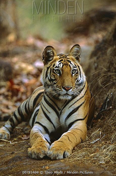 Bengal Tiger (Panthera tigris tigris) 20 month old female cub resting, Bandhavgarh National Park, India  -  Theo Allofs