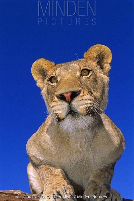African Lion (Panthera leo) female portrait in rehabilitation center, Namibia  -  Theo Allofs
