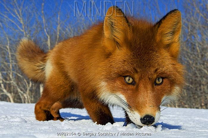 Red Fox (Vulpes vulpes) smelling snow, Kamchatka, Russia  -  Sergey Gorshkov