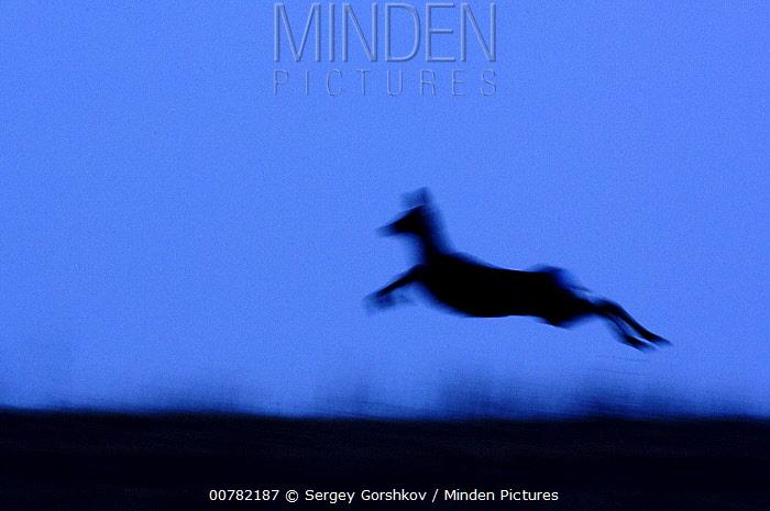Western Roe Deer (Capreolus capreolus) jumping, Kamchatka, Russia  -  Sergey Gorshkov