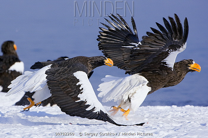 Steller's Sea Eagle (Haliaeetus pelagicus) chasing away another adult, Kamchatka, Russia  -  Sergey Gorshkov