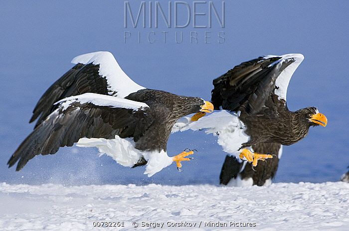 Steller's Sea Eagle (Haliaeetus pelagicus) chasing away another adult, Kamchatka, Russia  -  Sergey Gorshkov