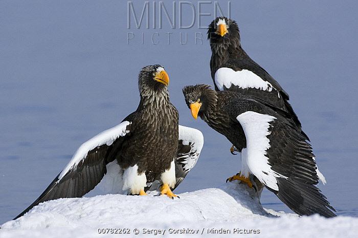 Steller's Sea Eagle (Haliaeetus pelagicus) trio on snowbank, Kamchatka, Russia  -  Sergey Gorshkov