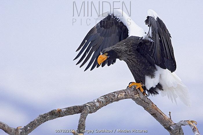 Steller's Sea Eagle (Haliaeetus pelagicus) spreading wings on branch, Kamchatka, Russia  -  Sergey Gorshkov